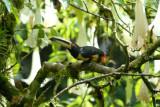 Pale-mandibled Aracari5