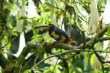Pale-mandibled Aracari6
