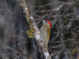Bar-bellied Woodpecker