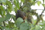 Sickle-winged Guan4
