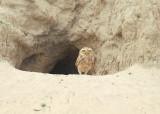 Burrowing Owl2
