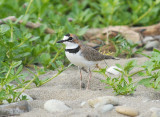 Collared Plover2