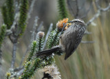 Andean Tit-Spinetail
