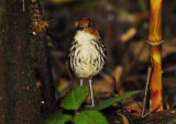 Chestnut-crowned Antpitta2