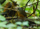 Moustached Antpitta2