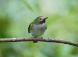 Black-throated Tody-Tyrant2