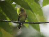 Northern Tufted-Flycatcher