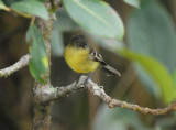 Orange-banded Flycatcher