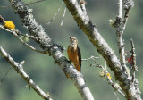 Streak-throated Bush-Tyrant