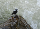 White-capped Dipper4