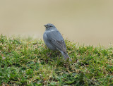 Plumbeous Sierra-Finch2