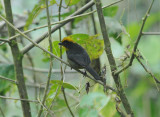 Chocó Brush-Finch