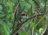 White-winged Brush-Finch