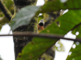 Crimson-mantled Woodpecker2