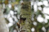 Mountain Wren