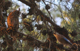 Long-eared Owl and a Euroasian Jay, Israel.