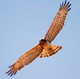 Snake Eagle, Israel.