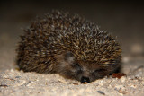 Hedgehog (Southern White-breasted), Israel.