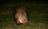 Porcupine (Indian Crested), Israel.