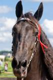 Frisian horses
