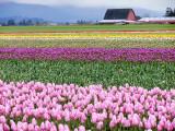 skagit_valley_tulips