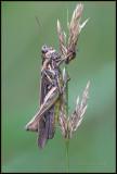 Common Field Grasshopper / Bruine Sprinkhaan