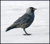 Jackdaw / Kauw / Corvus monedula