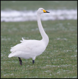 Whooper Swan / Wilde Zwaan / Cygnus cygnus