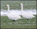 Bewick's Swan / Kleine Zwaan / Cygnus columbianus