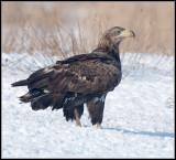White-tailed eagle / Zeearend / Haliaeetus albicilla