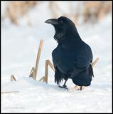 Raven / Raaf / Corvus corax