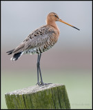 Black-tailed Godwit / Grutto / Limosa limosa