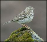 Meadow Pipit / Graspieper / Anthus pratensis
