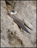 Sand Martin / Oeverzwaluw / Riparia riparia
