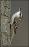 Treecreeper / Boomkruiper / Certhia brachydactyla