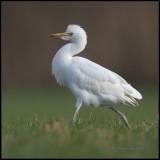 Cattle Egret / Koereiger / Bubulcus ibis