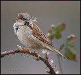 House Sparrow / Huismus / Passer domesticus