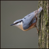 Nuthatch / Boomklever / Sitta europaea
