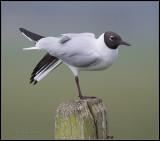 Black-headed Gull / Kokmeeuw / Larus ridibundus