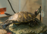 Randall -- our turtle pet