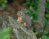 Douglas's Squirrel