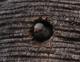 Woodpecker chick's first look at  the world