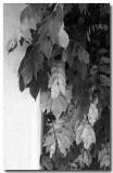 Pale leaves