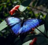 Morpho Butterfly, Monteverde Forest