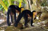 Capuchin Monkeys Stunned By Looks Of Homo Sapience, Tortuguero Selva