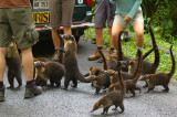 Formerly Known As A Wild Life, Coatimundis In Arenal National Park