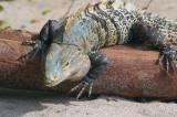 Sea Iguana In Attack, Manuel Antonio Park