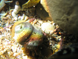 Iridescent shell