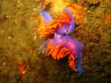 Spanish Shawl nudibranchs mating
