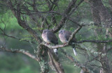 Young Spotted Doves 0262er